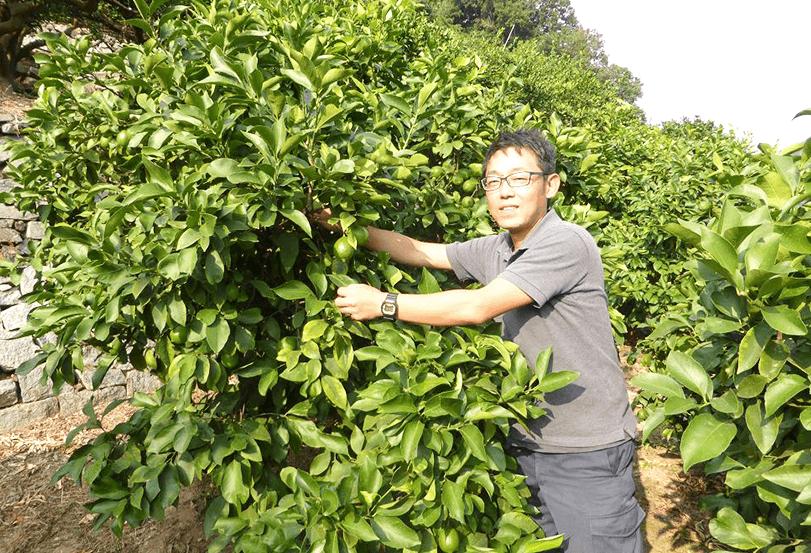 無農薬レモンの栽培風景